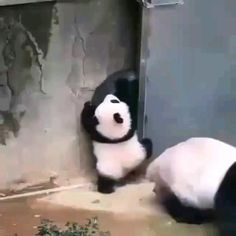 Cute Little Animals, Cute Funny Animals, Funny Animal Videos, Funny Animal Pictures, Nature Animals, Animals And Pets, Cute Panda Baby, Panda Funny, Cute Creatures