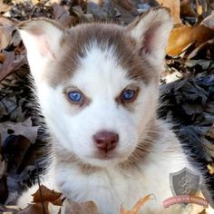 Undeniable Reasons to Own a Siberian Husky Ideas. Irrefutable Reasons to Own a Siberian Husky Ideas. Siberian Husky Puppies, Husky Mix, Husky Puppy, Siberian Huskies, Cute Puppies, Dogs And Puppies, Cute Dogs, Doggies, Huskies Puppies