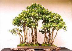 Peace Forest 17 formal Oct 2001.jpg (42541 bytes)