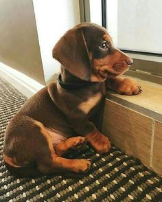 Adorable Dachsund puppy. I WANT!!!!