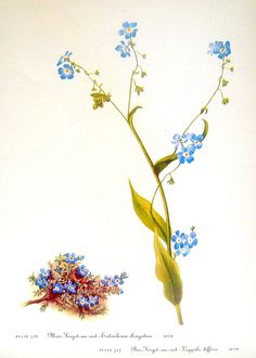 Flower Print - Moss Forget Me Not, Bur Forget Me Not, Alpine Forget Me Not - 2 Sided - 1950's Vintage Botanical Illustration Book Page