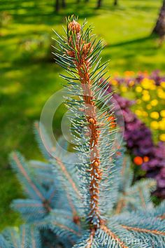 Fir tree growing on the lawn in the park on a sunny day on the background of flower beds.