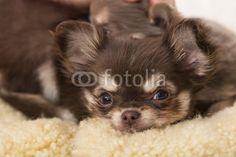 Chihuahua, Hundebaby, Welpe, Blick,
