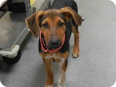 Pictures Of Jasmin A Black And Tan Coonhound Mix For Adoption In West Palm Beach Fl Who Needs A Loving Home