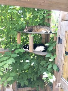 Actinidia Kolomikta or Kiwi Vine provides ideal shade for sleepy cats in their catio