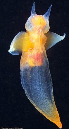 Sea Angel (Clione limacina) / クリオネ by Alexander Semenov) / Beautiful Sea Creatures, Deep Sea Creatures, Under The Water, Under The Sea, Underwater Creatures, Underwater Life, Sea Slug, Mundo Animal, Sea And Ocean