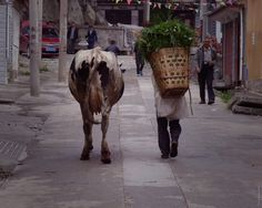A farmer returning from the fields with his trusty cow in #Zhoucheng. This print is available to buy from our #etsy store! https://www.etsy.com/uk/listing/268559315/photographic-print-farmer-and-cow?ref=shop_home_active_4