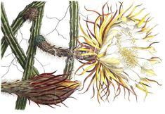 selenicereus macdonaldiae (cereus grusonianus)      ...