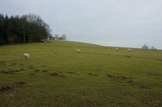 Pasture with sheep, West Dean College, Chichester, England