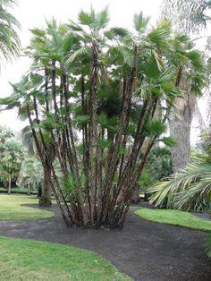 Paurotis Palm (Acoelorrhaphe wrightii), Caribbean, Mexico, Central America, southern Florida