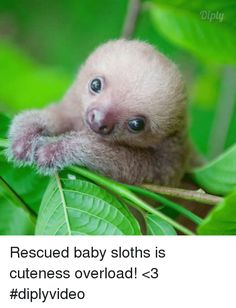 Memes, Sloth, and : Diply Rescued baby sloths is cuteness overload! <
