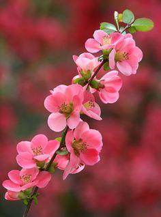 Spring... spring pink flowers