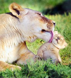 baby lion | check out this adorable baby lion from a zoo in australia the four ...