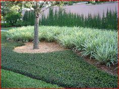 Variegated flax lily - Dianella tasmanica variegata