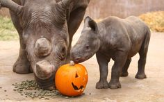Ema Elsa a Black Rhino at Chester Zoo and her one-month-old calf Chanua (meaning Blossom in Swahili) enjoy a pumpkin as a Halloween treat