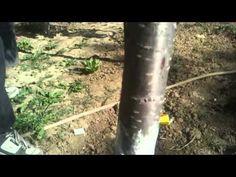Oprirea furnicilor in a se mai sui pe copac Fruit Trees, Grape Vines, Celery, Vegetables, Gardening, Nature, Youtube, Life, Naturaleza