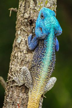 Colourful blue-headed Agama lizard in South Africa | ©Simon Pierce   A male blue-headed Agama lizard (Agamidae) in breeding coloration on a branch in Kruger National Park, South Africa.