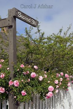 Pink Roses and Picket Fences