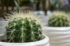 Echino-Kaktus