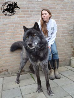 A wolf dog! My he is huge! And beautiful!