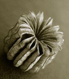 papar bud seed pod