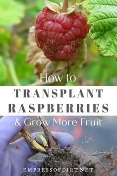 Gardening Tips How to transplant raspberries plus tips for growing this delicious summer fruit in the home garden. Organic Vegetables, Growing Vegetables, Fruits And Veggies, Fruits Basket, Raspberry Bush, Raspberry Plants, Gardening For Beginners, Gardening Tips, Growing Raspberries
