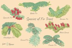 Fir trees are easy to grow evergreen conifers for your landscape. Several species also make good living Christmas trees. Consider these 12 species. Evergreen Garden, Evergreen Trees, Birch Trees, Conifer Trees, Trees And Shrubs, Types Of Fir Trees, Grand Fir, Blue Spruce Tree, Live Christmas Trees