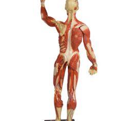 Πρόπλασμα με απεικόνιση μυϊκού συστήματος. Έχει ιδιαίτερα καλοσχηματισμένες δομές και πολύ λεπτομερή σχεδιασμό. Στη μία πλευρά απεικονίζεται το επιφανειακό μυϊκό σύστημα και από την άλλη οι εν τω βάθει μύες. Και τα δύο χέρια είναι αποσπώμενα. Επίσης αναπαριστώνται τα σημαντικά επιπολής αγγεία. #προπλασμα #προπλασματα