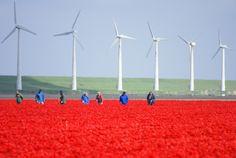 April i Hollands tulpanfält