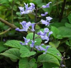 Plectranthus zuluensis: 3-4' shrub with bright green leaves and light purple flowers