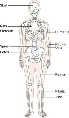 free printable human skeleton worksheet all free printable pinterest human skeleton. Black Bedroom Furniture Sets. Home Design Ideas