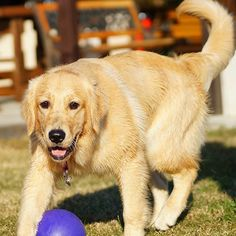 #ilovegolden_retrievers #pets_perfection #my_loving_pet #dogs_of_instagram #petoftoday #pets_of_our_world #meowvswoof #bestwoof #petstagram #dog_features #dogsofinstagram #ilovemydog #instagramdogs #dogstagram #dogoftheday #lovedogs #nature_cuties #FurrendsUpClose  #goldens_ofinstagram #igclub_dogs #gloriousgoldens #instadog #goldenretriever #dogsofinstaworld #retrieversgram  #welovegoldens #Excellent_Dogs #amazing_picturez_animals #FUNPETLOVECLUB #cutepetclub