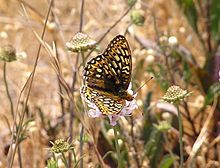 Callippe Silverspot Butterfly (Speyeria callippe callippe). Endangered.