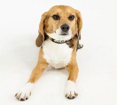 The Beagle Freedom Project | My Beauty Bunny