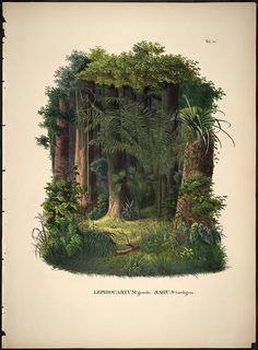 Historia naturalis palmarum ?opus tripartium / ...