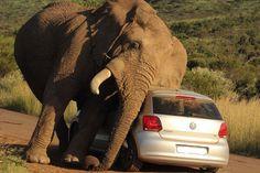 Elephant vs Car