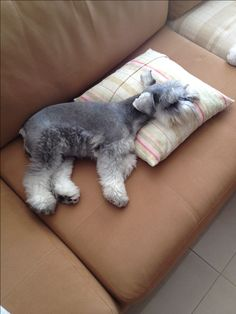 #Mini Schnauzer Amy ! mine loves lounging on pillows too!!!