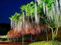 藤(フジ)の花・藤棚のライトアップ壁紙写真/春の花風景写真無料写真素材