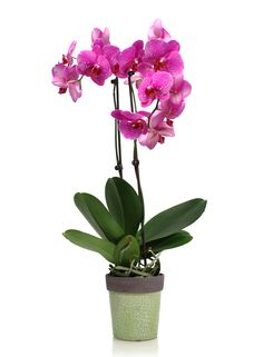 What You Need to Know About Phaleanopsis Orchids and Mold