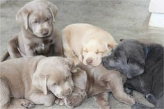 Mind Blowing Facts About Labrador Retrievers And Ideas. Amazing Facts About Labrador Retrievers And Ideas. Black Labrador Retriever, Golden Retriever, Labrador Puppies, Retriever Puppies, Lab Puppies, Cute Puppies, Labrador Chocolate, Most Popular Dog Breeds, Dog Boarding