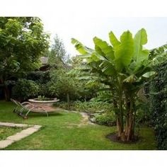 Bring a touch of the tropics to your yard or home with these great tropical plants. Plant a banana tree or black pepper plant. Start a tropical...