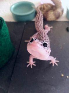 Cute Leopard Gecko Lepord Gecko, Leopard Gecko Cute, Cute Gecko, Cute Animal Memes, Cute Funny Animals, Cute Baby Animals, Cute Reptiles, Reptiles And Amphibians, Reptile Room