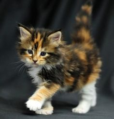 I want a calico kitten!!!