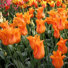 Ballerina is the Dutch soccer team's favorite orange tulip. A very elegant flower with pointed, recurving petals and a sweet scent! Contrasts very nicely with pink and red tulips! Lily flowering tulips have long pointed petals that reflex and often. Spring Plants, Spring Bulbs, Wind Damage, Oriental Lily, Tulip Bulbs, Asiatic Lilies, Red Tulips, Planting Bulbs