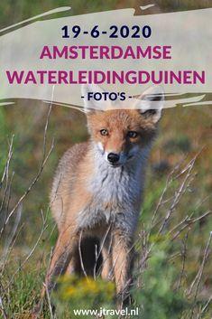 Ik maakte een wandeling in de Amsterdamse Waterleidingduinen. Dit keer zag ik 2 boomkikkers, damherten, 2 vossen, moedervos en drie welpen en een zandhagedis. Mijn foto's zie je hier. Kijk je mee? #awd #boomkikker #vossenwelp #vos #zandhagedis #damhert #wandelen #hiken #natuur #jtravel #jtravelblog #fotos
