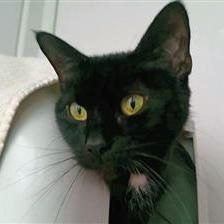 Star - Cat Rehoming & Adoption - Wood Green Animals Charity