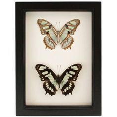Framed Green Butterfly Collection Malachite Display (1,075 MXN) ❤ liked on Polyvore featuring home, home decor, wall art, black, home & living, home décor, black home decor, framed wall art, green home decor and malachite wall art