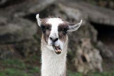 goofy llama @ lion country safari yesterday lol