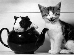 Cat finds Guinea pig in teapot utterly hilarious via vi.sualize.us :)