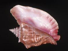 Conch Shell    -Repinned by Totetude.com